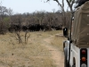 buffalo-in-letaba-ranch