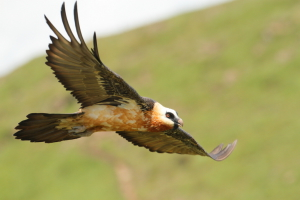 bearded-vulture