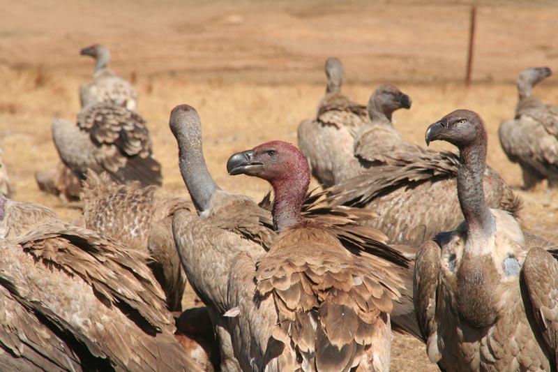 drakensberg cape vultures