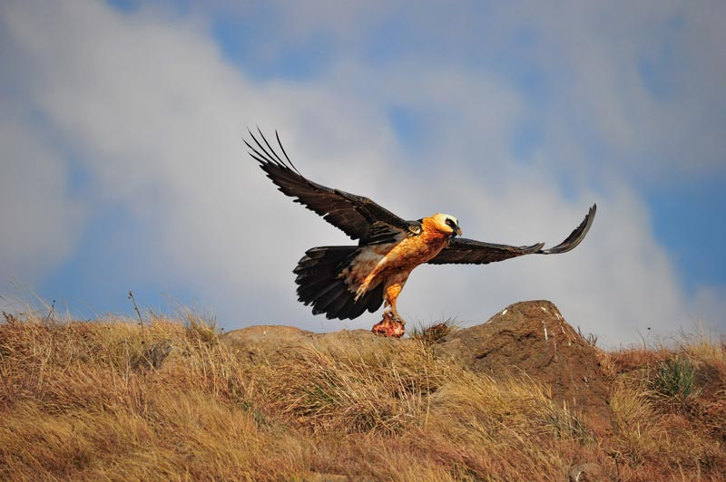drakensberg bearded vulture