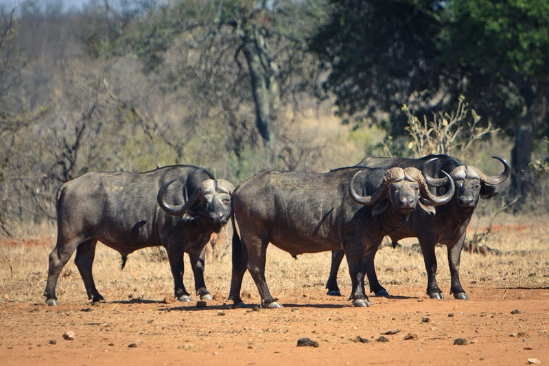 buffalo mtomeni safari camp letaba ranch