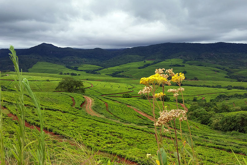 fundudzi_tea_plantations_2