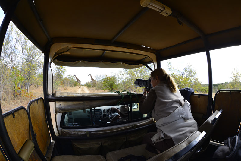 game drive mtomeni safari camp letaba ranch