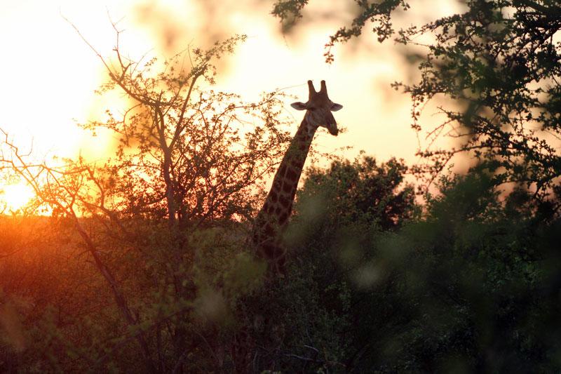giraffe letaba ranch mtomeni safari camp