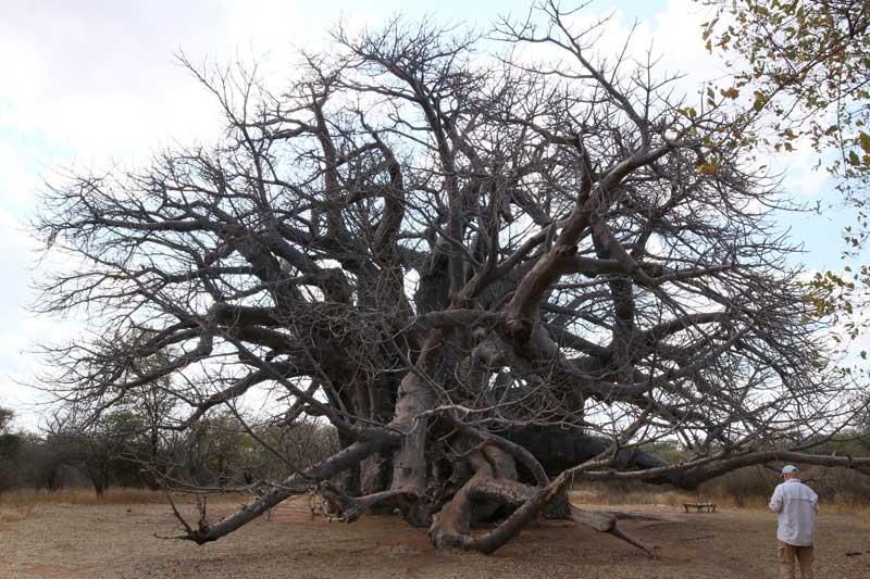 Sagole baobab