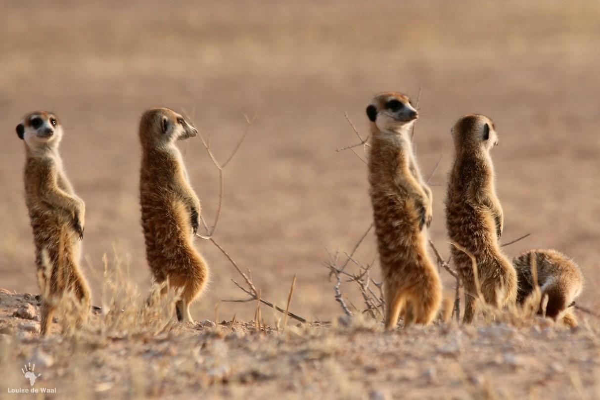 kgalagadi meerkat colony