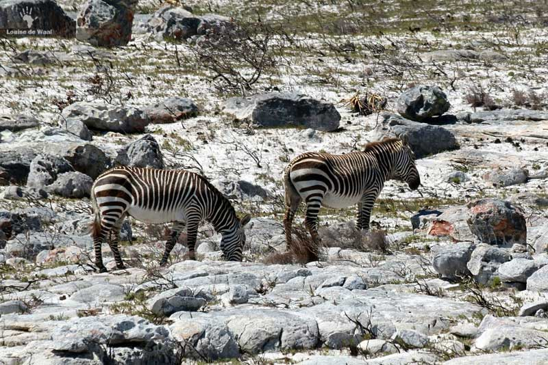 cape point zebras