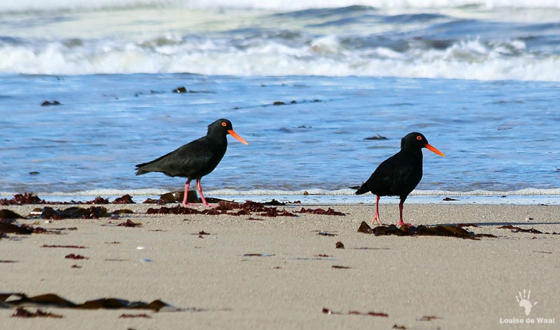 cape point birds